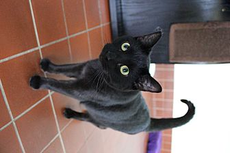 Domestic Shorthair Cat for adoption in Battle Creek, Michigan - Cassius