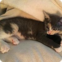 Adopt A Pet :: Jules - Walnut Creek, CA