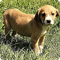Adopt A Pet :: Bode - Allentown, PA