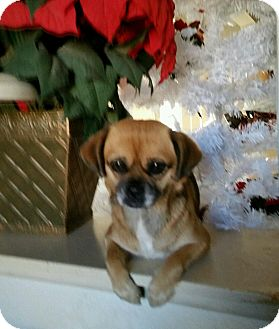 Pug/Terrier (Unknown Type, Small) Mix Dog for adoption in Marina del Rey, California - Penny
