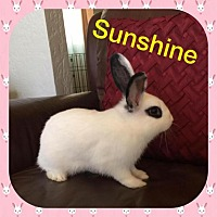 Dwarf Hotot Mix for adoption in Los Angeles, California - Sunshine