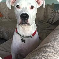 Adopt A Pet :: Jaxx - Tampa, FL