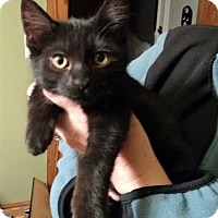 Domestic Shorthair Kitten for adoption in Huntley, Illinois - Tazu