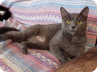 Russian Blue Kitten for adoption in Naperville, Illinois - Keeko
