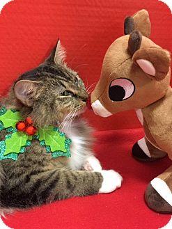 Oriental Cat for adoption in Pasadena, Texas - Layla