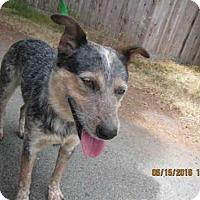 Adopt A Pet :: Bravo - Petaluma, CA
