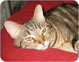 Domestic Shorthair Cat for adoption in Cincinnati, Ohio - Gypsy