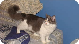 Maine Coon Cat for adoption in Spotsylvania, Virginia - Coco