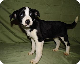 Border Collie Terrier Mix Puppies | www.pixshark.com ...