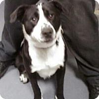 Adopt A Pet :: LOKI - East Orange, NJ
