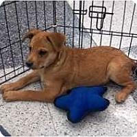 Adopt A Pet :: Cuddlebug - Phoenix, AZ