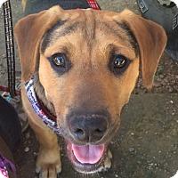 Adopt A Pet :: Toffee - Wimberley, TX