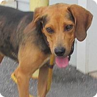 Adopt A Pet :: Amber - Elmwood Park, NJ