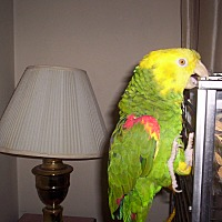 Adopt A Pet :: YoYo - Frederick, MD