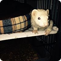 Adopt A Pet :: Peg Leg Pete - Navarre, FL