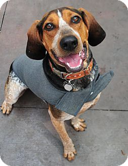 Coonhound Mix Dog for adoption in Minneapolis, Minnesota - Milo