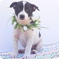 Adopt A Pet :: Roscoe - Loomis, CA