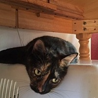 Domestic Shorthair Cat for adoption in Orange, California - Lola