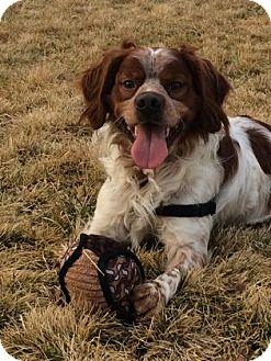 Brittany Dog for adoption in Oroville, California - CA(SF)/Hunter