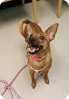 Miniature Pinscher/Terrier (Unknown Type, Small) Mix Dog for adoption in Charlotte, North Carolina - Tesa