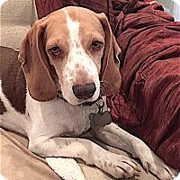 Adopt A Pet :: Chuck - Houston, TX