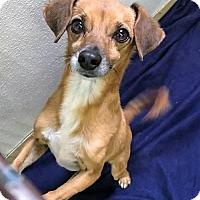 Adopt A Pet :: Raider - San Jacinto, CA