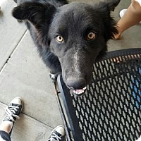 Border Collie Mix Dog for adoption in Lakeport, California - Timber