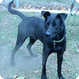 Labrador Retriever Mix Dog for adoption in Washington, D.C. - Charlie - NEEDS FOSTER!