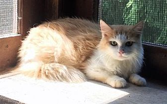 Domestic Mediumhair Cat for adoption in Trexlertown, Pennsylvania - Genevieve - Barn Cat