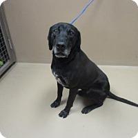 Labrador Retriever Mix Dog for adoption in Reno, Nevada - FRANKIE