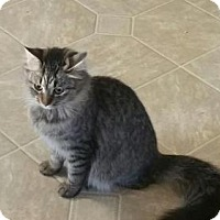 Maine Coon Cat for adoption in Grand Ledge, Michigan - Gormie