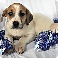 Adopt A Pet :: Joy - Mooresville, NC