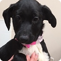 Adopt A Pet :: Avalon - Fort Collins, CO