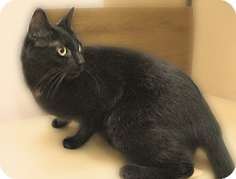 Domestic Shorthair Cat for adoption in Richmond, Virginia - Keka