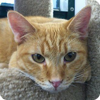Domestic Shorthair Kitten for adoption in Winchester, California - Derek