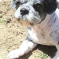 Adopt A Pet :: Lil' Debbie - Wytheville, VA
