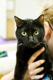 Domestic Shorthair Cat for adoption in Baton Rouge, Louisiana - Finn
