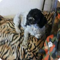 Adopt A Pet :: SUKI 3 - Chandler, AZ