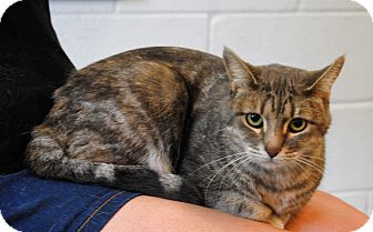 Domestic Shorthair Cat for adoption in Parsons, Kansas - Tiger