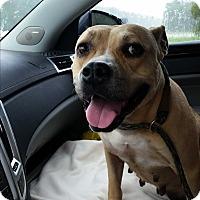 Black Mouth Cur Mix Dog for adoption in Jacksonville, Florida - Serena