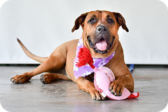 Boxer Mix Dog for adoption in Victoria, British Columbia - Babe