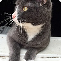 American Shorthair Cat for adoption in Palisades Park, New Jersey - Pixie