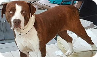 Pit Bull Terrier Mix Dog for adoption in Salt Lake City, Utah - Beethoven