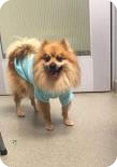 Pomeranian Mix Dog for adoption in Columbus, Georgia - Sturgis 8663