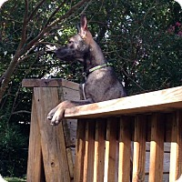 Belgian Malinois/German Shepherd Dog Mix Puppy for adoption in Morrisville, North Carolina - Galya