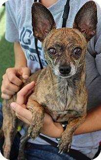 Chihuahua Dog for adoption in Woodland, California - Petey