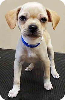Chihuahua/Terrier (Unknown Type, Small) Mix Puppy for adoption in Oswego, Illinois - ADOPTED!!!   Chandler