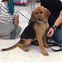 Bloodhound Mix Puppy for adoption in Hillside, Illinois - Sariatu