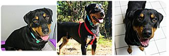 Rottweiler Dog for adoption in Forked River, New Jersey - Kutcher