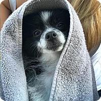 Adopt A Pet :: Graciella - Studio City, CA